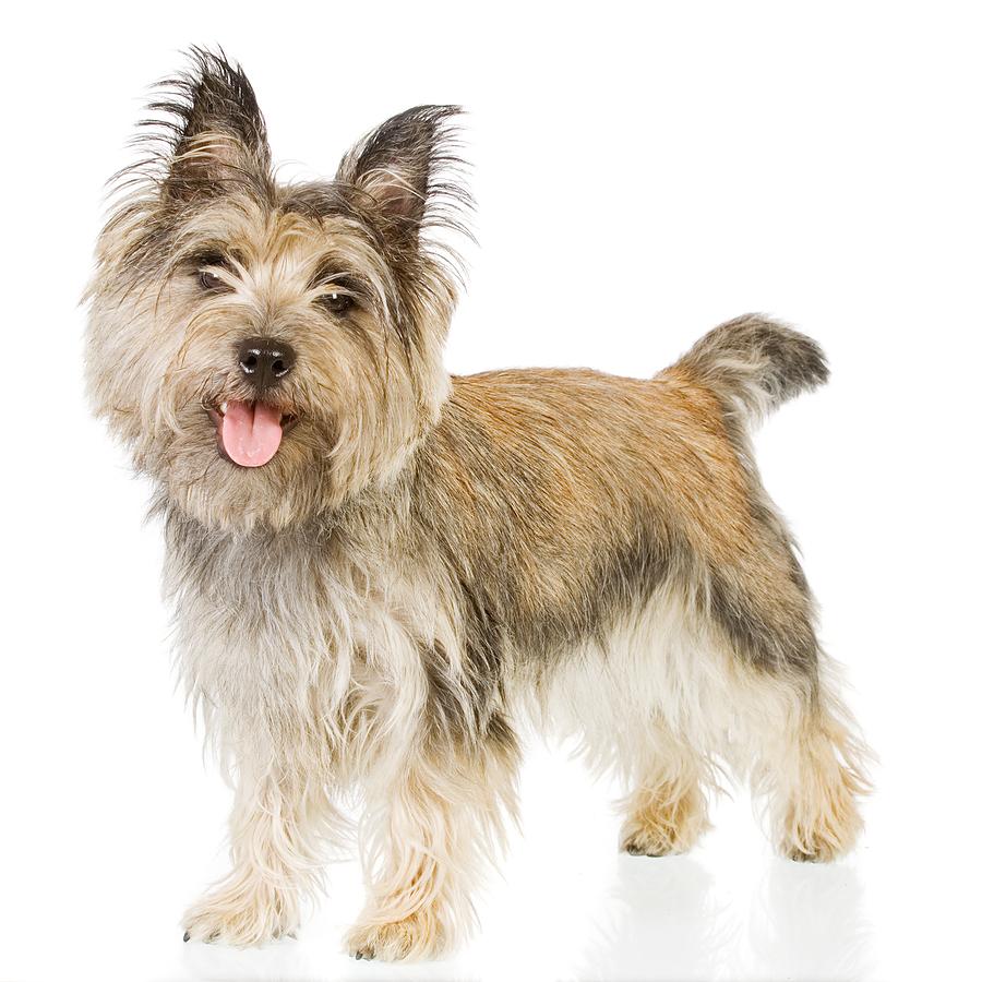 Cairn Terrier Newsletter